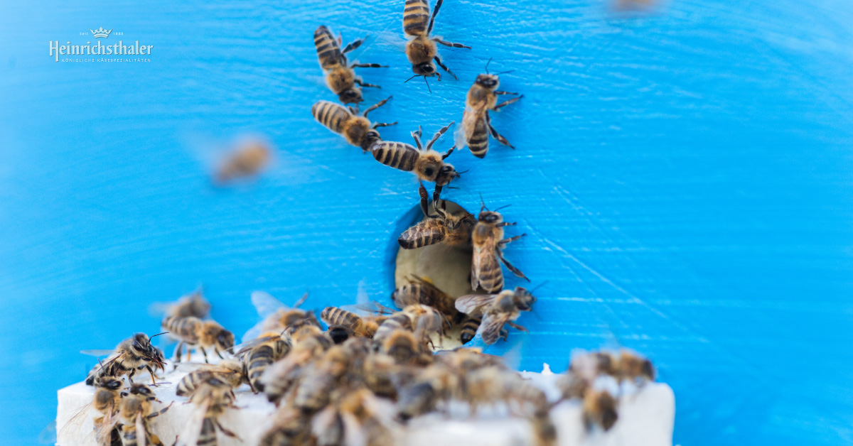 Heinrichsthaler Bienenvölker im Kältemodus
